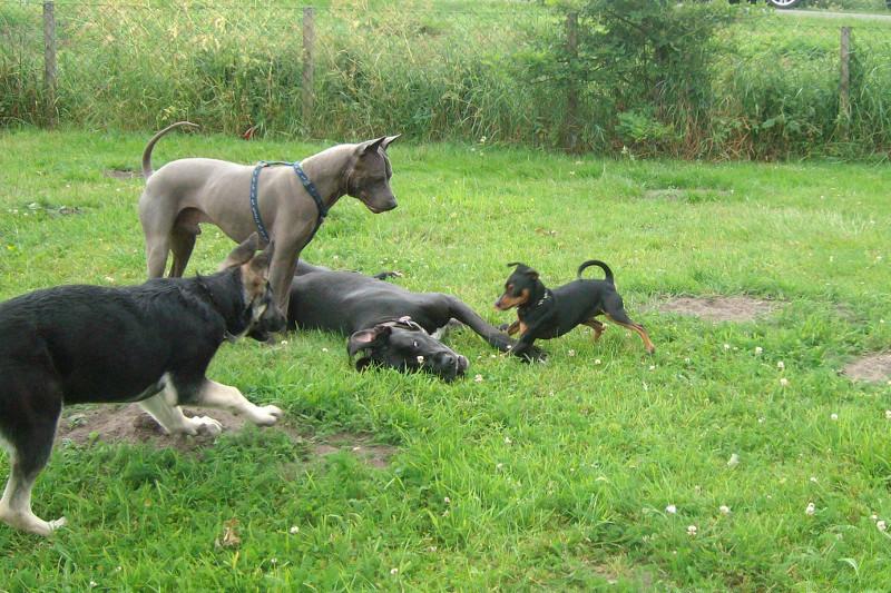 Fotos 2012   Thai Ridgeback Dog – Thaigermoon – Infos zum Thailand ...